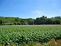Plantación de papas - panoramio.jpg