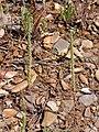 Plantago coronopus Inflorescencia 2010-5-26 DehesaBoyaldePuertollano.jpg