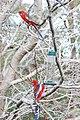 Platycercus elegans -Blue Mountains -bird feeder-8d.jpg