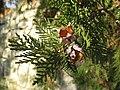 Platycladus orientalis cones.jpg
