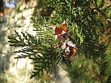 Platycladus orientalis - Wikipedia, la enciclopedia libre