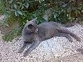 Plava Maca.jpg