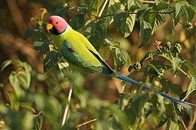 Plum headed parakeet (2).jpg