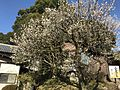 Plum trees in Dazaifu Temman Shrine 5.jpg