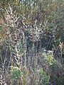 Poa palustris (21707206755).jpg