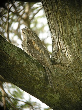 Podargus papuensis -Papuan Frogmouth-8.jpg