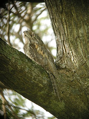 Papuan frogmouth - Papuan frogmouth in Papua New Guinea