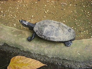 Yellow-spotted river turtle species of reptile