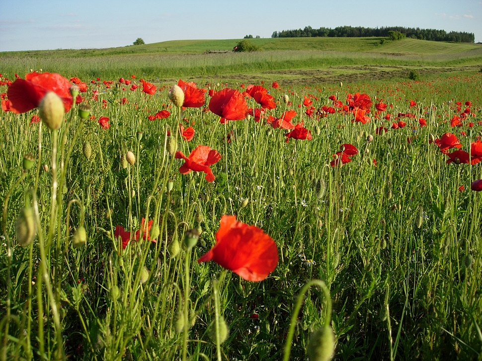 Polish Poppies