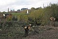 Pollarded willows, Newbold Comyn Park - geograph.org.uk - 1563322.jpg