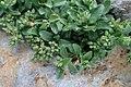 Polycarpon tetraphyllum kz4.jpg