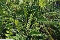 Polystichum acrostichoides 5zz.jpg