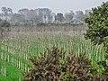 Poplars - panoramio (3).jpg