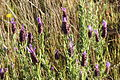 Portugal - Algarve - French lavender (25719580481).jpg