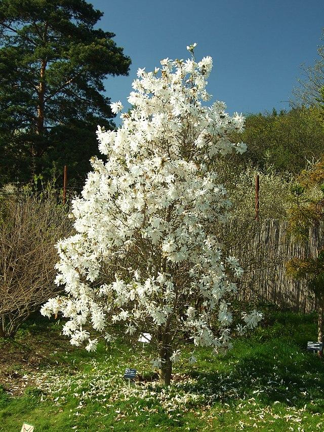 image gallery stellata magnolia. Black Bedroom Furniture Sets. Home Design Ideas