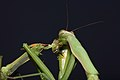 Praying Mantis Sexual Cannibalism European-26.jpg