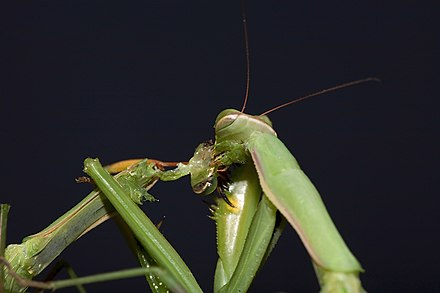 Sexual cannibalism in praying mantises: a female biting off the head of a male Praying Mantis Sexual Cannibalism European-26.jpg