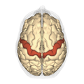 Precentral gyrus - superior view.png