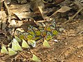 Prioneris sita - Painted Sawtooth at Makutta 2018 (5).jpg