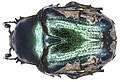 Protaetia trojana (Gory & Percheron, 1833) (4018719915).jpg