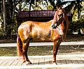 Prototipo caballo criollo colombiano.jpg
