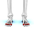 Proximal phalanges of foot01 anterior view.png