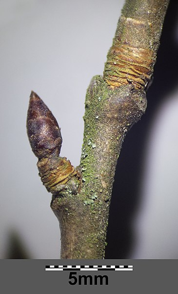 File:Prunus domestica s. lat. sl6.jpg