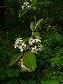 Prunus emarginata 15419.JPG