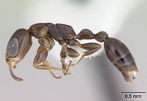 Präparierte Pseudomyrmex acanthobius - Arbeiterin mit charakteristischen großen Augen