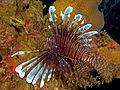 Pterois volitans (Lionfish - Caribbean invasive).jpg