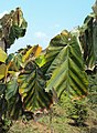 Pterospermum diversifolium 04.JPG