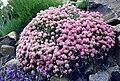 Ptilotrichium spinosum 'roseum' 1.jpg