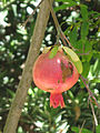 Punica granatum fruit-Jerusalem.jpg