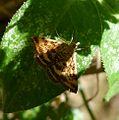 Pyraustra despicata - Flickr - gailhampshire.jpg