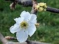 Pyrus pyrifolia (Shinko) inflorescence.jpg