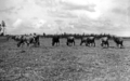 Queensland State Archives 1268 Dairy cattle on the Atherton Tableland c 1935.png
