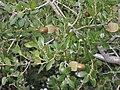 Quercus coccifera (Kermes Oak) - Flickr - S. Rae.jpg