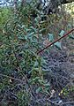 Quercus wislizeni kz1.jpg