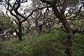 Quercusagrifolia.jpg