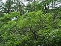Quercusilicifolia2.jpg
