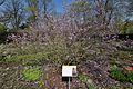 Różanecznik ostrokończysty Rhododendron mucronulatum.jpg
