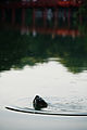 Rùa Hồ Gươm.jpg
