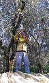 Raccolta olive 2.jpg