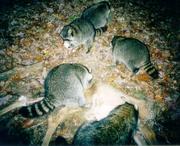 Raccoons eat deer.png