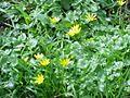 Ranunculus ficaria3.jpg
