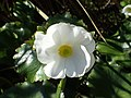 Ranunculus lyallii kz14.jpg