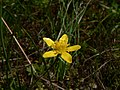 Ranunculus occidentalis 39003.JPG