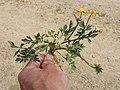 Ranunculus repens sl13.jpg
