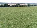 Rape field and long barrow north of Lamborough Lane - geograph.org.uk - 188064.jpg