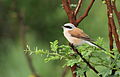 Red-backed shrike, Lanius collurio at at Pilanesberg National Park, Northwest Province, South Africa -male (16835504449).jpg